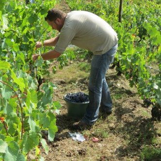 Amaury in the vines