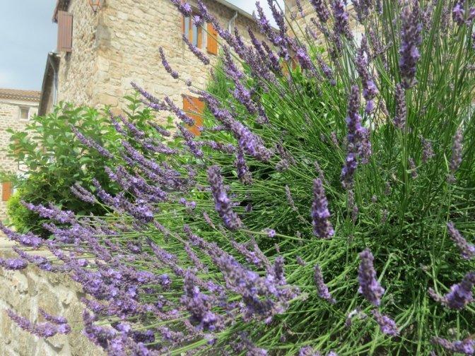 dangerous lavender