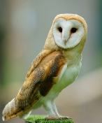 640px-Tyto_alba_-British_Wildlife_Centre,_Surrey,_England-8a_(1)
