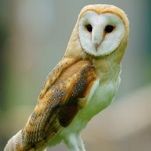640px-Tyto_alba_-British_Wildlife_Centre,_Surrey,_England-8a_(1)